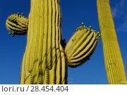 Купить «Saguaro cactus (Carnegiea gigantea) with flower buds, Saguaro National Park, Arizona, USA, April.», фото № 28454404, снято 17 августа 2018 г. (c) Nature Picture Library / Фотобанк Лори