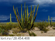 Купить «Organ pipe cactus (Stenocereus thurberi) with the Ajo Mountains in the background, Organ Pipe Cactus National Monument, Sonora Desert, Arizona, USA», фото № 28454408, снято 24 мая 2018 г. (c) Nature Picture Library / Фотобанк Лори