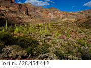 Купить «Saguaro cacti (Carnegiea gigantea) and Organ Pipe Cactus (Stenocereus thurberi), Organ Pipe Cactus National Monument, Sonora Desert, Arizona, USA. April 2014.», фото № 28454412, снято 17 августа 2018 г. (c) Nature Picture Library / Фотобанк Лори