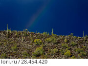 Купить «Rainbow over Saguaro cacti (Carnegiea gigantea), Organ Pipe Cactus (Stenocereus thurberi) and Foothills Palo Verde tree (Cercidium microphyllum), Organ...», фото № 28454420, снято 16 августа 2018 г. (c) Nature Picture Library / Фотобанк Лори