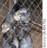 Купить «Портрет серого пушистого песца в клетке мини зоопарка. Песец, стоя на задних лапах, передними опирается на решетку клетки», фото № 28454752, снято 6 мая 2018 г. (c) Наталья Николаева / Фотобанк Лори