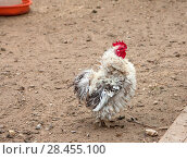 Купить «Небольшой декоративный бело-пестрый петух птичьем дворе», фото № 28455100, снято 6 мая 2018 г. (c) Наталья Николаева / Фотобанк Лори