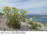 Купить «Prickly sow-thistle (Sonchus asper ssp glaucescens) flowers on beach, Pomegues Island, Frioul Archipelago, Marseille, France, April.», фото № 28455664, снято 17 августа 2018 г. (c) Nature Picture Library / Фотобанк Лори