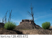 Купить «Euphorbia (Euphorbia sp.) plants  growing after fire, Etang de Berre, Provence, France», фото № 28455672, снято 16 июля 2018 г. (c) Nature Picture Library / Фотобанк Лори