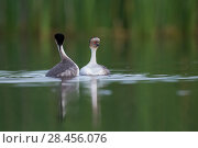 Купить «Silvery grebe (Podiceps occipitalis) pair during courtship, La Pampa, Argentina», фото № 28456076, снято 16 июля 2018 г. (c) Nature Picture Library / Фотобанк Лори