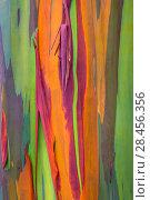 Купить «Rainbow eucalyptus (Eucalyptus deglupta) bark, Costa Rica.», фото № 28456356, снято 23 сентября 2018 г. (c) Nature Picture Library / Фотобанк Лори