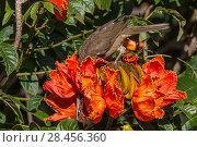 Купить «Clay-colored robin (Turdus grayi), drinking from flower ofAfrican tulip tree (Spathodea campanulata) Costa Rica. This tree is an invasive species.», фото № 28456360, снято 24 мая 2018 г. (c) Nature Picture Library / Фотобанк Лори