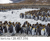 King Penguin (Aptenodytes patagonicus) on the island of South Georgia, the rookery in St. Andrews Bay. Adults moulting. Antarctica, Subantarctica, South Georgia. Стоковое фото, фотограф Martin Zwick / age Fotostock / Фотобанк Лори