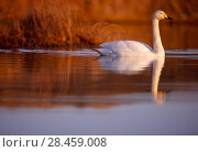 Купить «Whooper Swan (Cygnus cygnus) male on moorland loch, Isle of Skye, Hebrides, Scotland, December.», фото № 28459008, снято 22 июля 2018 г. (c) Nature Picture Library / Фотобанк Лори