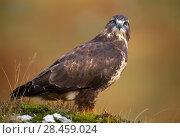 Купить «Common buzzard (Buteo buteo), Isle of Mull, Inner Hebrides, Scotland, January», фото № 28459024, снято 22 июля 2018 г. (c) Nature Picture Library / Фотобанк Лори
