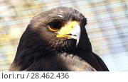 Купить «Harris's hawk (Parabuteo unicinctus) as dusky hawk», видеоролик № 28462436, снято 25 января 2018 г. (c) BestPhotoStudio / Фотобанк Лори