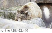 Купить «Brown bear (Ursus arctos)», видеоролик № 28462440, снято 13 февраля 2018 г. (c) BestPhotoStudio / Фотобанк Лори