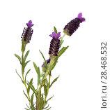 Lavandula stoechas, the Spanish lavender. Стоковое фото, фотограф Tamara Kulikova / Фотобанк Лори