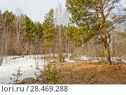 Купить «Весна, весенний лес, снег, сосны», эксклюзивное фото № 28469288, снято 23 апреля 2018 г. (c) Александр Циликин / Фотобанк Лори