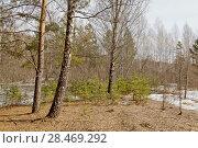 Купить «Весна, весенний лес, проталина; березы», эксклюзивное фото № 28469292, снято 23 апреля 2018 г. (c) Александр Циликин / Фотобанк Лори