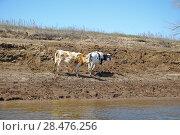 Купить «Молодые коровы у реки на водопое», эксклюзивное фото № 28476256, снято 6 апреля 2009 г. (c) Алёшина Оксана / Фотобанк Лори