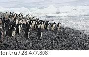 Купить «Adelie Penguins walk along beach», видеоролик № 28477808, снято 1 марта 2018 г. (c) Vladimir / Фотобанк Лори