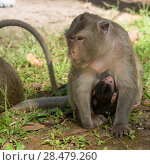 Купить «Close-up of monkey nursing its baby, Krong Siem Reap, Siem Reap, Cambodia», фото № 28479260, снято 26 марта 2019 г. (c) Ingram Publishing / Фотобанк Лори