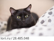Купить «Lazy big black cat laying on bed», фото № 28485048, снято 23 июня 2013 г. (c) Ingram Publishing / Фотобанк Лори