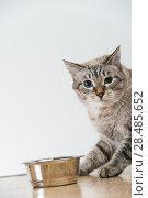 Portrait of a purebred striped cat pet and cat food on a gray background. Стоковое фото, фотограф Kirill Kedrinskiy / Ingram Publishing / Фотобанк Лори