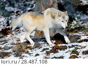 Купить «North-western wolf (Canis lupus occidentalis) captive occurs in  northwestern USA and Canada.», фото № 28487108, снято 22 августа 2018 г. (c) Nature Picture Library / Фотобанк Лори