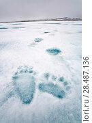 Купить «Polar bear (Ursus maritimus) footprints, Spitsbergen, Svalbard, Norway, Arctic Ocean.», фото № 28487136, снято 16 февраля 2020 г. (c) Nature Picture Library / Фотобанк Лори