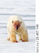 Купить «Polar bear (Ursus maritimus) with blood covered face on ice, Spitsbergen, Svalbard, Norway, Arctic Ocean», фото № 28487148, снято 30 марта 2020 г. (c) Nature Picture Library / Фотобанк Лори