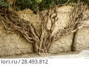 Купить «Wall covered with old tree roots», фото № 28493812, снято 18 октября 2019 г. (c) Ingram Publishing / Фотобанк Лори