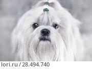 Купить «Shih tzu dog. Bright white colors.», фото № 28494740, снято 5 ноября 2013 г. (c) Ingram Publishing / Фотобанк Лори