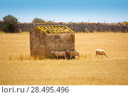 Купить «Menorca sheep flock grazing in golden dried meadow at Balearic Islands», фото № 28495496, снято 25 мая 2013 г. (c) Ingram Publishing / Фотобанк Лори