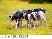 Купить «Menorca Friesian cow cattle grazing in green meadow at Balearic Islands of Spain», фото № 28495504, снято 25 мая 2013 г. (c) Ingram Publishing / Фотобанк Лори