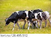 Купить «Menorca Friesian cow cattle grazing in green meadow at Balearic Islands of Spain», фото № 28495512, снято 25 мая 2013 г. (c) Ingram Publishing / Фотобанк Лори