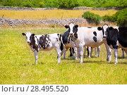 Купить «Menorca Friesian cow cattle grazing in green meadow at Balearic Islands of Spain», фото № 28495520, снято 25 мая 2013 г. (c) Ingram Publishing / Фотобанк Лори