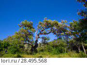 Купить «Menorca oak tree forest in northern coast near Cala Pilar at Balearic Islands», фото № 28495568, снято 29 мая 2013 г. (c) Ingram Publishing / Фотобанк Лори