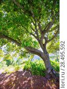 Купить «Menorca oak tree forest in northern coast near Cala Pilar at Balearic Islands», фото № 28495592, снято 29 мая 2013 г. (c) Ingram Publishing / Фотобанк Лори