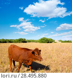 Купить «Menorca brown cow grazing in golden field near Ciutadella at Balearic islands», фото № 28495880, снято 25 мая 2013 г. (c) Ingram Publishing / Фотобанк Лори