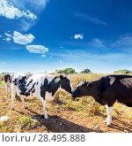 Friesian cows kissing each other in Menorca Balearic Islands. Стоковое фото, фотограф Tono Balaguer / Ingram Publishing / Фотобанк Лори