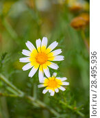 Купить «Menorca spring daisy white and yellow wild flowers in Balearic islands», фото № 28495936, снято 27 мая 2013 г. (c) Ingram Publishing / Фотобанк Лори