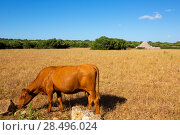 Купить «Menorca brown cow grazing in golden field near Ciutadella at Balearic islands», фото № 28496024, снято 25 мая 2013 г. (c) Ingram Publishing / Фотобанк Лори