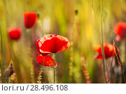 Poppies Poppy red flowers in Menorca spring fields Balearic Islands. Стоковое фото, фотограф Tono Balaguer / Ingram Publishing / Фотобанк Лори