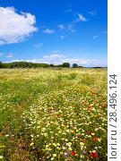 Купить «Menorca spring field with poppies and daisy flowers in Balearic Islands», фото № 28496124, снято 30 мая 2013 г. (c) Ingram Publishing / Фотобанк Лори