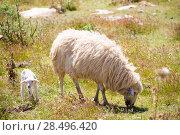 Купить «Mother sheep and baby lamb grazing in Menorca field», фото № 28496420, снято 25 мая 2013 г. (c) Ingram Publishing / Фотобанк Лори