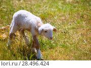 Купить «Baby lamb newborn sheep standing walking on green grass field», фото № 28496424, снято 25 мая 2013 г. (c) Ingram Publishing / Фотобанк Лори