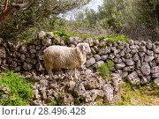 Купить «Lamb sheep in mediterranean landscape at Menorca Balearic islands», фото № 28496428, снято 31 мая 2013 г. (c) Ingram Publishing / Фотобанк Лори