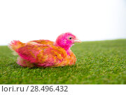 Купить «Chicken chick hen pink painted on turf grass and white background», фото № 28496432, снято 9 октября 2013 г. (c) Ingram Publishing / Фотобанк Лори