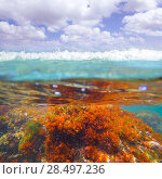 Купить «Mediterranean underwater seaweed algae in Denia Javea Alicante spain», фото № 28497236, снято 22 августа 2013 г. (c) Ingram Publishing / Фотобанк Лори