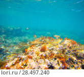 Купить «Mediterranean underwater with salema fish school in spain», фото № 28497240, снято 22 августа 2013 г. (c) Ingram Publishing / Фотобанк Лори