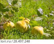 Купить «Quince fruit still image over green grass in nature outdoor», фото № 28497248, снято 13 октября 2013 г. (c) Ingram Publishing / Фотобанк Лори
