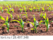 Купить «Corn fields sprouts in rows in California agriculture plantation USA», фото № 28497348, снято 19 апреля 2013 г. (c) Ingram Publishing / Фотобанк Лори