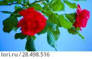Купить «Beautiful red blooming roses on a blue background», видеоролик № 28498516, снято 31 мая 2018 г. (c) Peredniankina / Фотобанк Лори